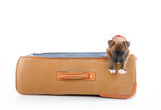 Boxer puppy in suitcase Royalty Free Stock Images