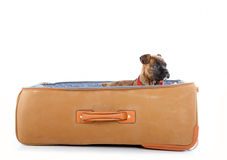 Boxer puppy in suitcase Stock Photo
