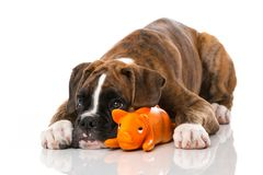 Boxer puppy with toy. Isolated on white stock photos