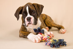 Boxer puppy with toy rope Stock Image
