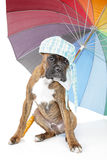 Boxer puppy with umbrella on a white background Stock Photo