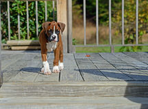 Boxer Puppy walking across a deck. Royalty Free Stock Photography