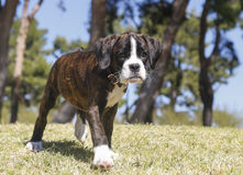 Boxer puppy walking at the park Stock Image