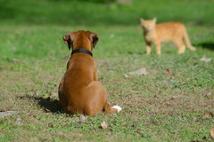 Boxer puppy watching a cat. Royalty Free Stock Photography