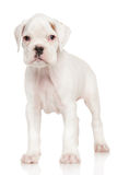 Boxer puppy on white Stock Photo