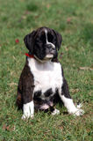 Boxer puupy Royalty Free Stock Photos