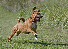 Boxer/Rhodesian ridgeback mixed breed dog. Runs through a field while playing Royalty Free Stock Images