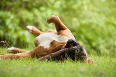 Boxer rolling on the grass. Happy dog photographed outside in the forest stock image