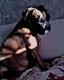 Boxer sad stock photos