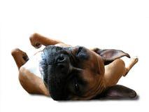 Boxer schläft auf seinem zurück Stockbilder