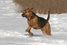 A Boxer Shepherd mixed breed dog running in snow Royalty Free Stock Images