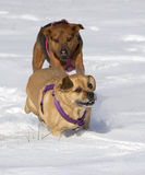 Boxer Shepherd and Puggle mixed breed dogs running in snow chasing each other Royalty Free Stock Images