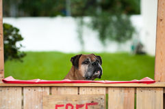 Boxer sitting in a kissing booth Royalty Free Stock Photo