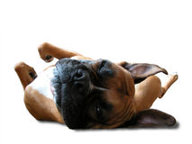 Boxer Sleeps On His Back Stock Images