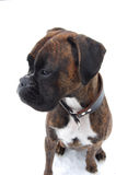 Boxer on snow. Brindle boxer in the snow Stock Photography
