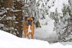 Boxer in the snow. A boxer contemplates jumping into some deep snow Royalty Free Stock Image