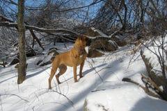 Boxer In Snow Stock Photo