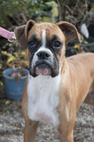 Boxer standing at attention Stock Photography