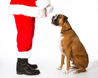 Boxer Talking to Santa. Boxer dog telling Santa Claus what he wants for Christmas Stock Photography