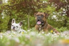 Boxer und Bulldogge im Park Lizenzfreie Stockbilder