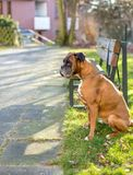Boxer waits for owner stock photos