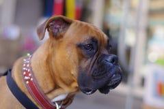 Boxer wartet geduldig Inhaber, um zurückzukommen stockbilder