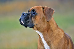 Boxer watching Birds Royalty Free Stock Images