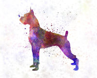 Boxer in watercolor Stock Image