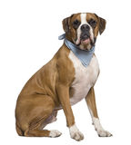 Boxer wearing handkerchief, 2 years old, sitting Royalty Free Stock Photography