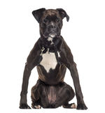 Boxer wearing a harness (2 years old) Stock Photography