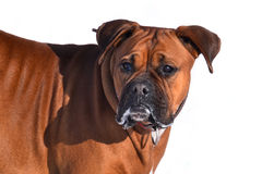 Boxer. On a white background Stock Photo