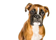 Boxer on a white background. Boxer dog on a white background Stock Images