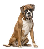 Boxer, 4 years old, sitting on white background Stock Photos