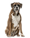 Boxer, 4 years old, sitting on white background Royalty Free Stock Images