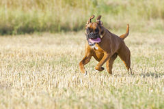 A boxer young puppy dog while running Royalty Free Stock Images
