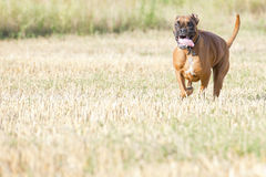 A boxer young puppy dog while running Stock Photography