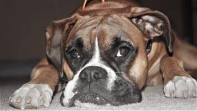 Boxer-Zucht-Hundeabschluß oben stockbild