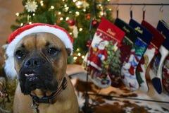 Boxer-Zucht-Hundeweihnachtsporträt stockbild