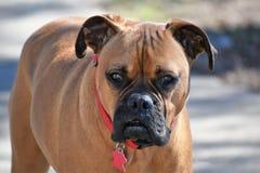 Boxer-Zucht-Porträt lizenzfreies stockfoto