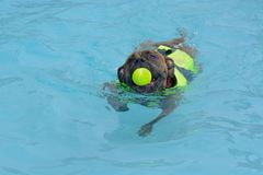 Boxerhündchenschwimmen im Pool lizenzfreie stockbilder