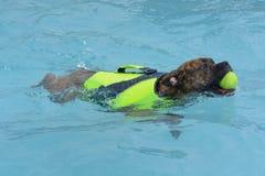 Boxerhündchenschwimmen im Pool lizenzfreie stockfotos