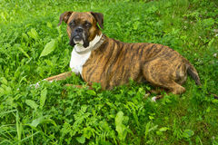 Boxerhund Stockfotos