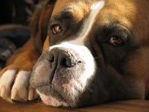 Boxerhund Stockfoto