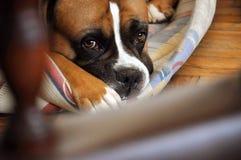 Boxerhund Stockbilder