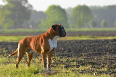 Boxerhund lizenzfreies stockbild