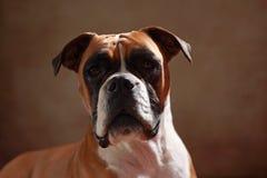 Boxerhund Stockbild
