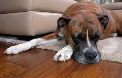 Boxerhund, der auf Teppich nahe Sofa schläft Lizenzfreie Stockfotografie