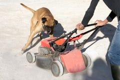 Boxerhund, der einen Rasenmäher spielt und jagt Stockbild