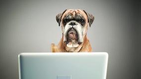 Boxerhund, der an Laptop arbeitet stock footage