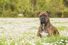 Boxerhund im Park Stockbild
